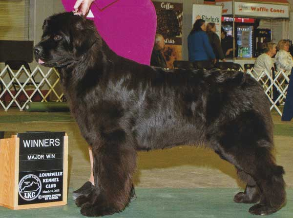 Newfie Breeders Of Newfoundland Puppies And Newf Adults